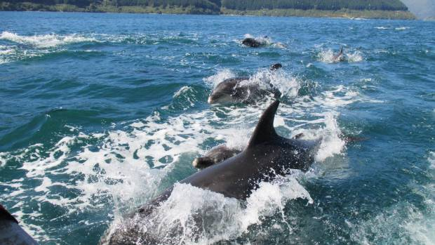 Dolphins are a common occurrence in the Pelorus Sound. (File photo)