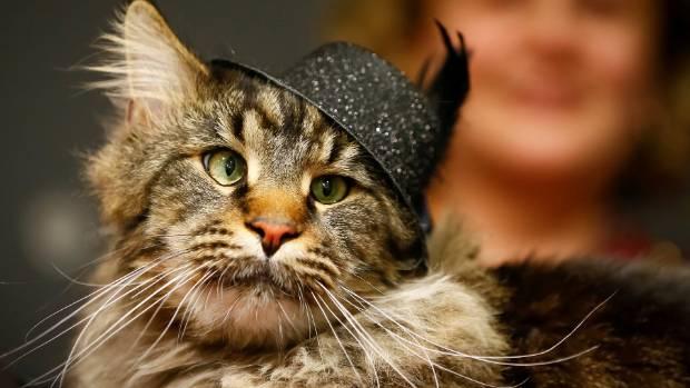 Cats have inbuilt mechanism to save their nine lives.