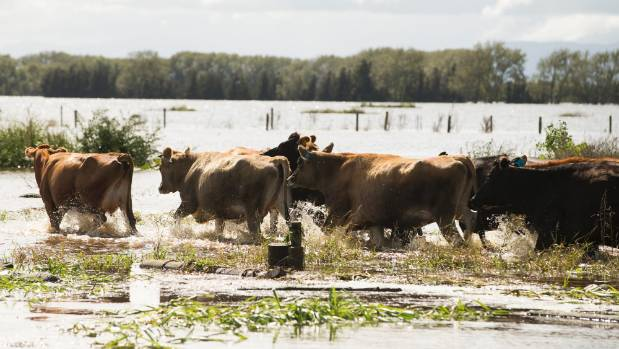 Flood water has forced farmers to shift stock or cull them.