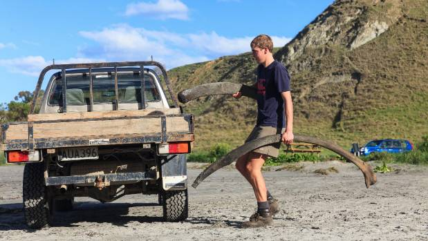 Curved rib bones are loaded onto a ute after they were uncovered at Kaikoura's Jimmy Armers Beach.