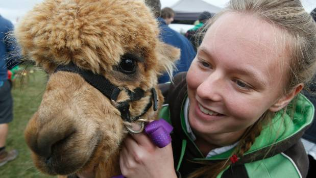 Cassidy Hogg, of Fairlie, gives alpaca Fitzie a pat.