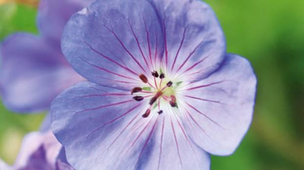 Geranium 'Rozanne'.