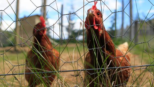 Chooks are smarter than they look, especially when there are apples to be got at, writes Mandy Evans.