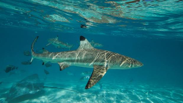Sharks more cautious than the rays and won't be fed.