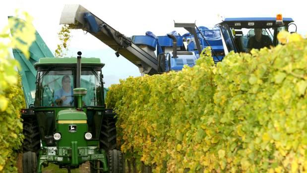 Sauvignon blanc makes up 86 per cent of all wine produced in Marlborough. (File photo)