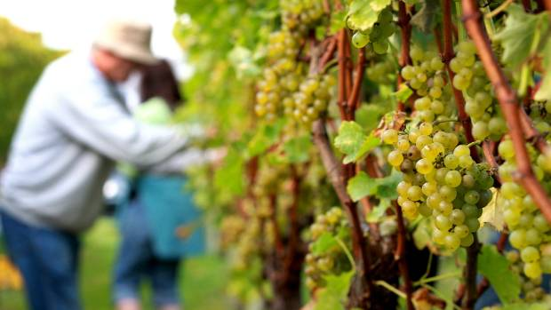 Sauvignon blanc is the driving force behind New Zealand's thriving wine export market. (File photo).