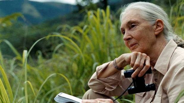 Jane Goodall at Gombe National Park in Tanzania. She  first traveled to Tanzania in 1960, at the age of 26.
