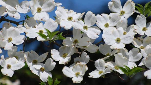 Dogwoods flower in spring but now is the time to take hardwood cuttings.