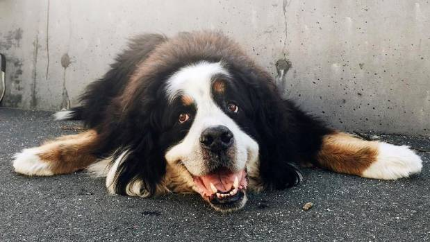 Bernie the bernese dog, a well-known resident of Oriental Parade, Wellington, crossed the rainbow bridge this week. On ...