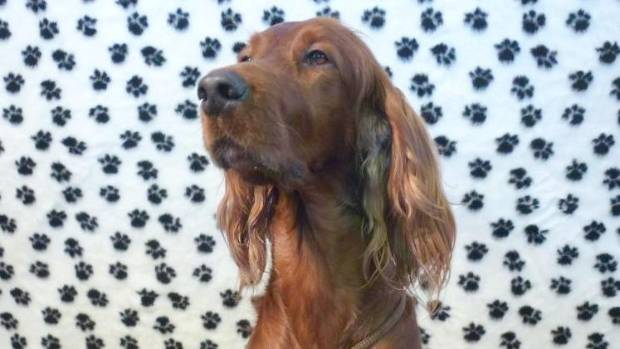 Spotted at the Pet Expo: an Irish Setter named Holly.
