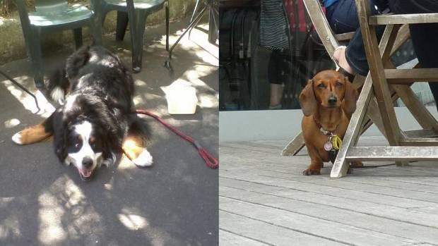 Cafe dogs: A Bernese Mountain Dog (left) and a Dachshund guard their territory.