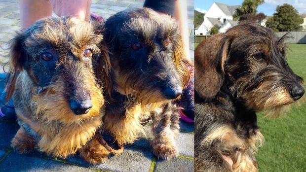 Hairy encounters: a pair of Wire-haired Dachshunds from Taupo (left), and one from Wellington.