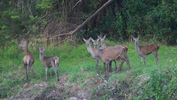 Bryce Buckland saw six of the runaway deer at Marsden Valley Cemetery last month. Three hunters have been arrested at ...