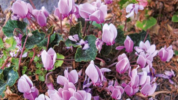 cyclamen graecum flowers in autumn the leaves are marbled with silvery grey patterns on a