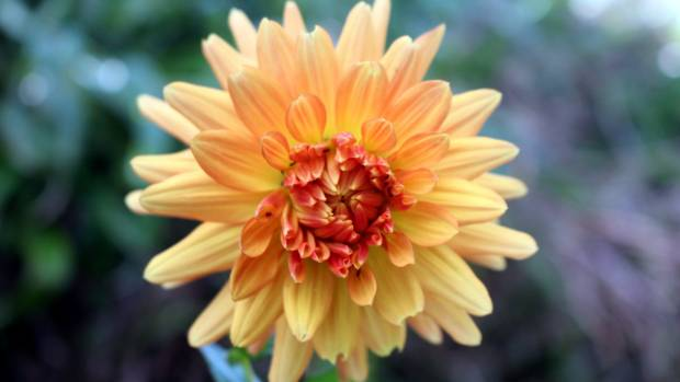 A dahlia in New Plymouth artist Tony Rumball's garden is as bright as one of his paintings.