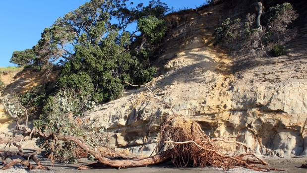 Another tree that fell from the cliff top at Army Bay.