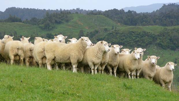 Perendale sheep are the passion of Waikato stud ram breeders Philip and Audrey Brandon of Awaroa Perendales.