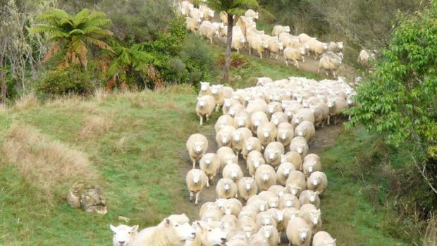 Perendales come down from the hills on Philip and Audrey Brandon's Waikato farm.
