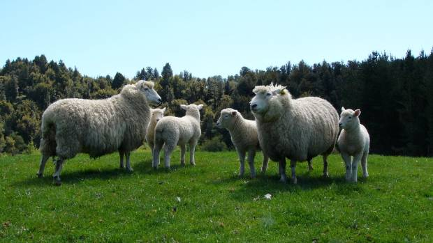 19042017-NZF Perendale ewes and lambs at Waikato's Awaroa Perendales stud are genetic weapons in the fight against ...