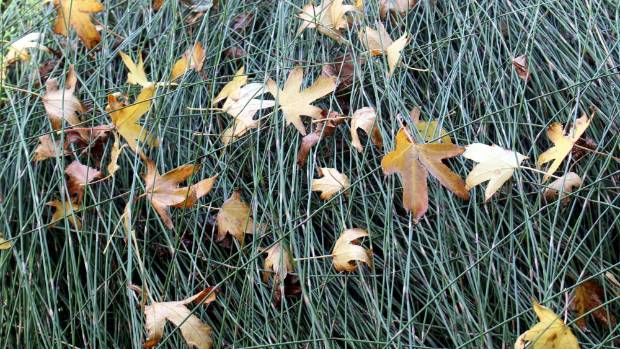 Fallen maple leaves are caught by carex.