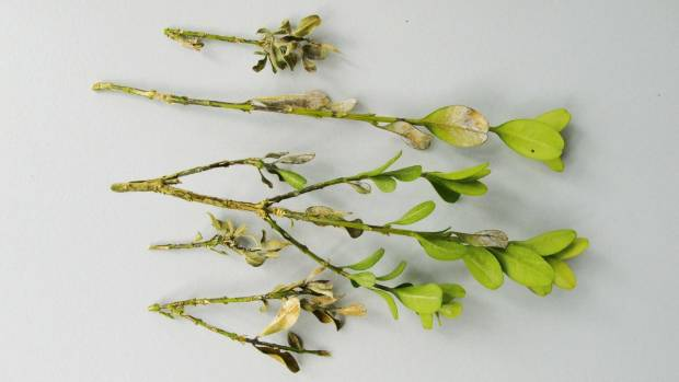 Close up of blight-infected buxus stems.