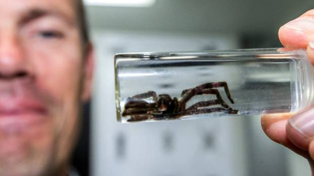 Canterbury Museum spider expert Cor Vink was alerted to the finding of this huntsman spider at Lululemon.