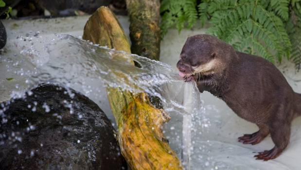 Brooklands Zoo assistant curator Eve Cozzi said the Asian short-clawed otter is a tactile animal that likes to play with ...
