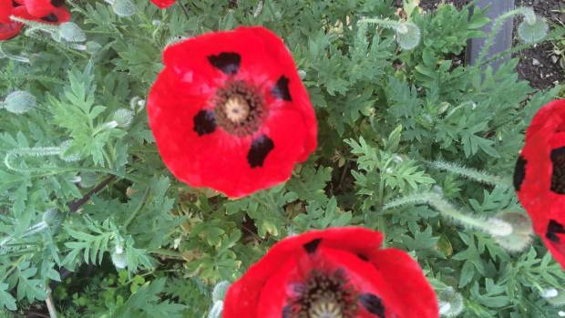 Poppies are sown on or around Anzac Day, so that they are flowering by Remembrance Day on November 11.
