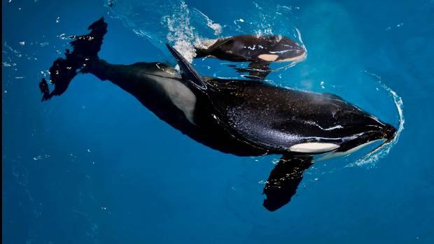 SeaWorld San Antonio's orca Takara swims with her new calf.