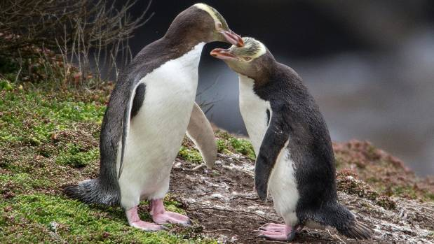 Yellow-eyed penguins/hoiho are of the world's rarest penguin species, these birds do not form colonies and can travel ...