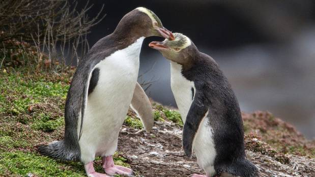 Rare, elusive, endangered yellow-eyed penguin 'slipping towards extinction'