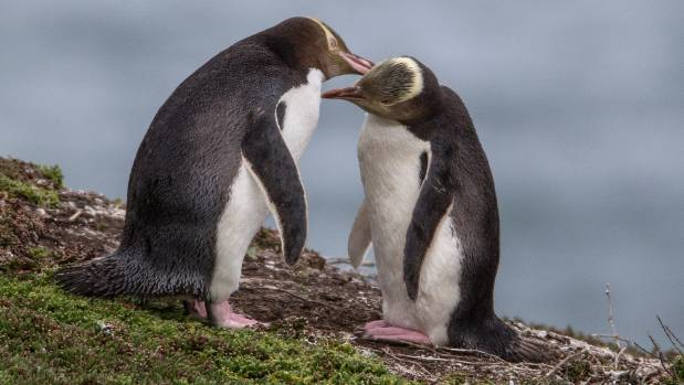 Yellow-eyed penguins could be extinct in 25 years