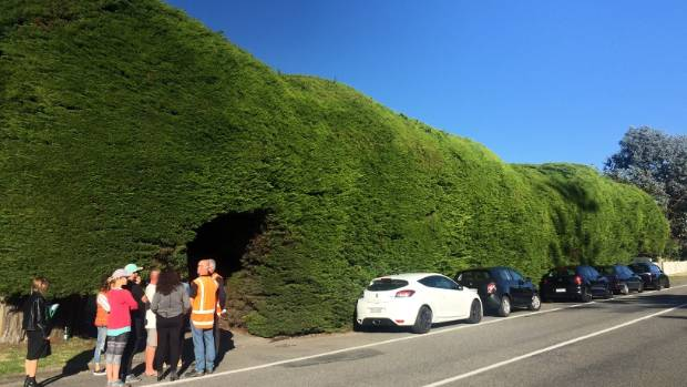 The cars parked along the front of the Osborne's  Waikanae Beach hedge to stop an arborist from getting their clippers ...