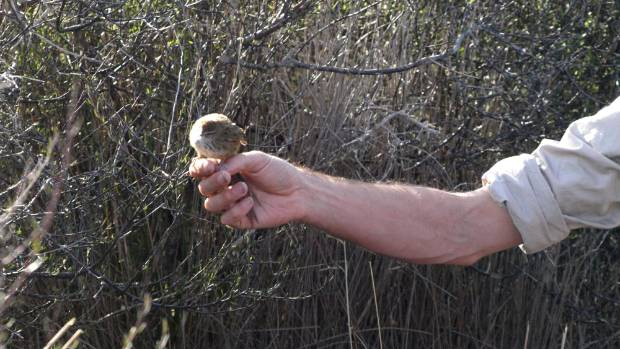 Contract ecologist Kevin Parker releases a bird into shrubs at the Reserve.