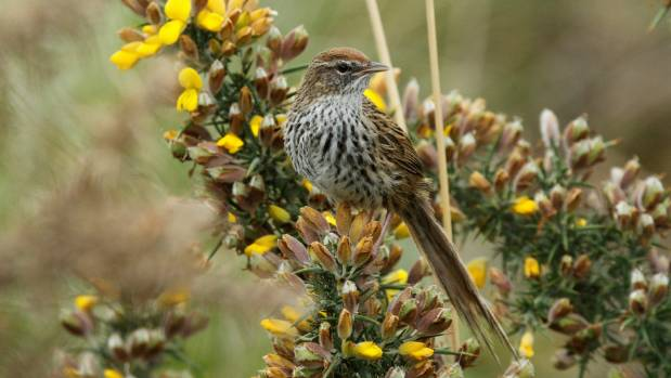 Fernbirds are small with a distinctive long, trailing, ragged tail
