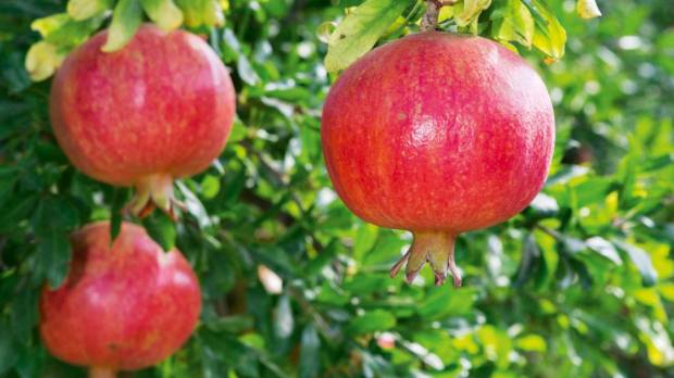 Pomegranates are orange-sized, with a thick skin that protects the rich pink-red arils of sweet, juicy pulp containing ...