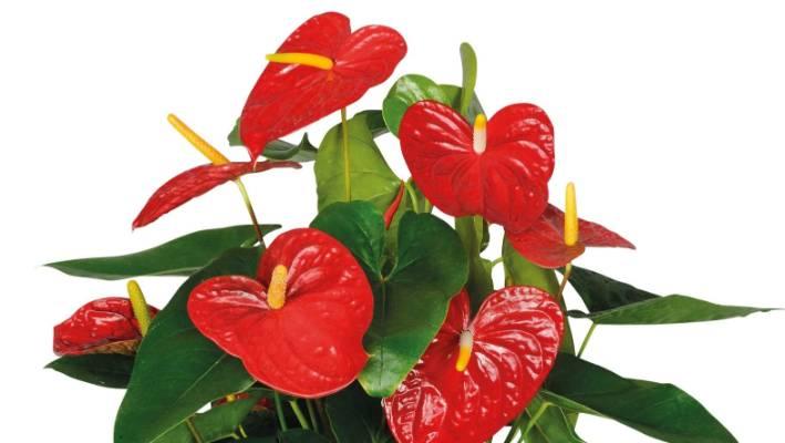 Q&A: How to get anthurium houseplants to bloom again | Stuff.co.nz Anthrium on anthurium anceps, anthurium albovirescens, anthurium sect. digitinervium, anthurium atroviride, anthurium albidum, anthurium aristatum, zantedeschia aethiopica, anthurium angustilaminatum, anthurium albispatha,