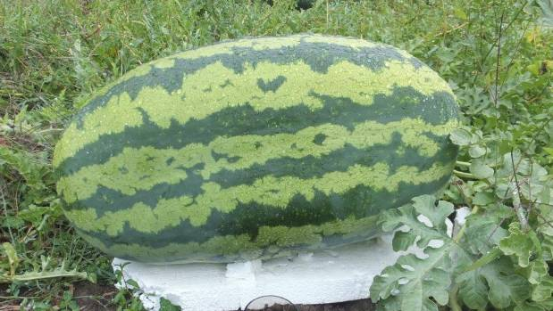NZ Gardener reader Jant Akkerman's sons grew this watermelon on a lifestyle block in Turakina Valley.