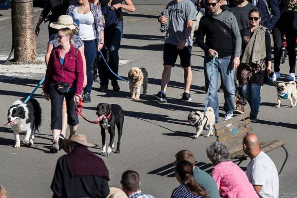 Dogs big and small socialise on a sunny Big Dog Walk, around the bays, drawing spectators.