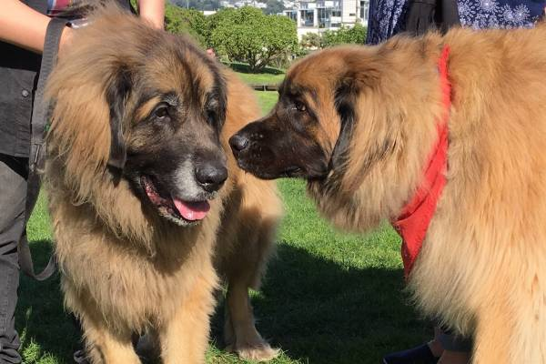 Lions or Leonbergers?