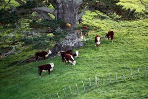 Charlie and Helen Lea's hereford stud cattle enjoy the shade provided by the numerous trees planted on their farm.