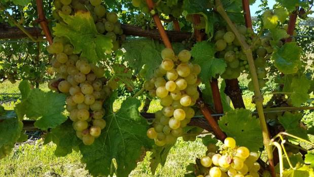Sauvignon blanc grapes in pristine condition on a well-managed vineyard.