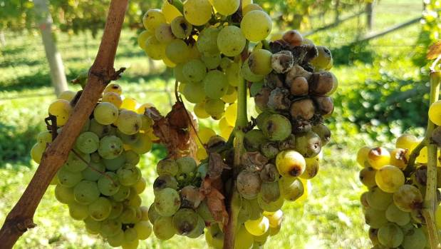 Sauvignon blanc grapes on a poorly managed vine.