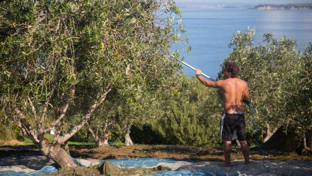 An olive picker starts work at a grove overlooking Matiatia on Waiheke Island.
