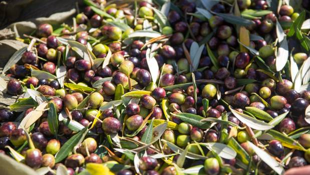 Olive picking has started on Waiheke but has been delayed elsewhere.