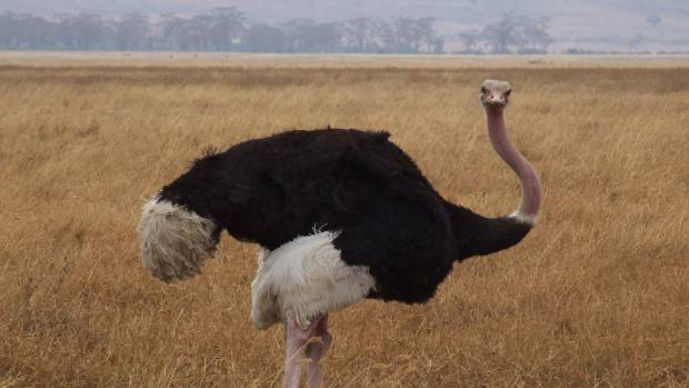 If you fancy bird meat but also want a big juicy steak, ostrich fits the bill.