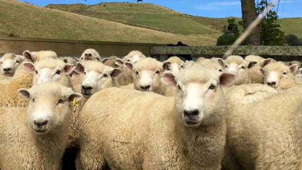 Sheepmeat prices have lifted from at the beginning of the season.