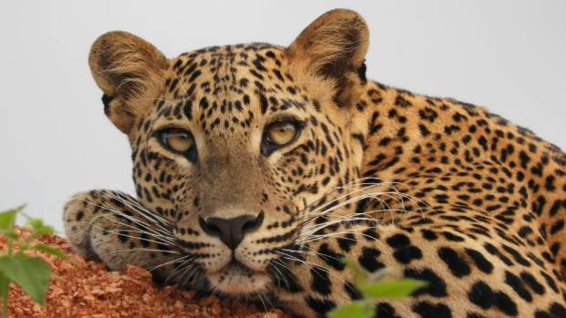 A leopard at the Yala National Park.