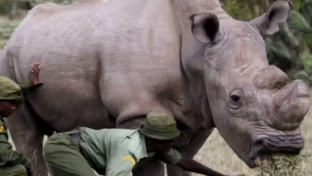 Sudan may be a little high-maintenance - he lives with two lady rhinos and has round-the-clock bodyguards.