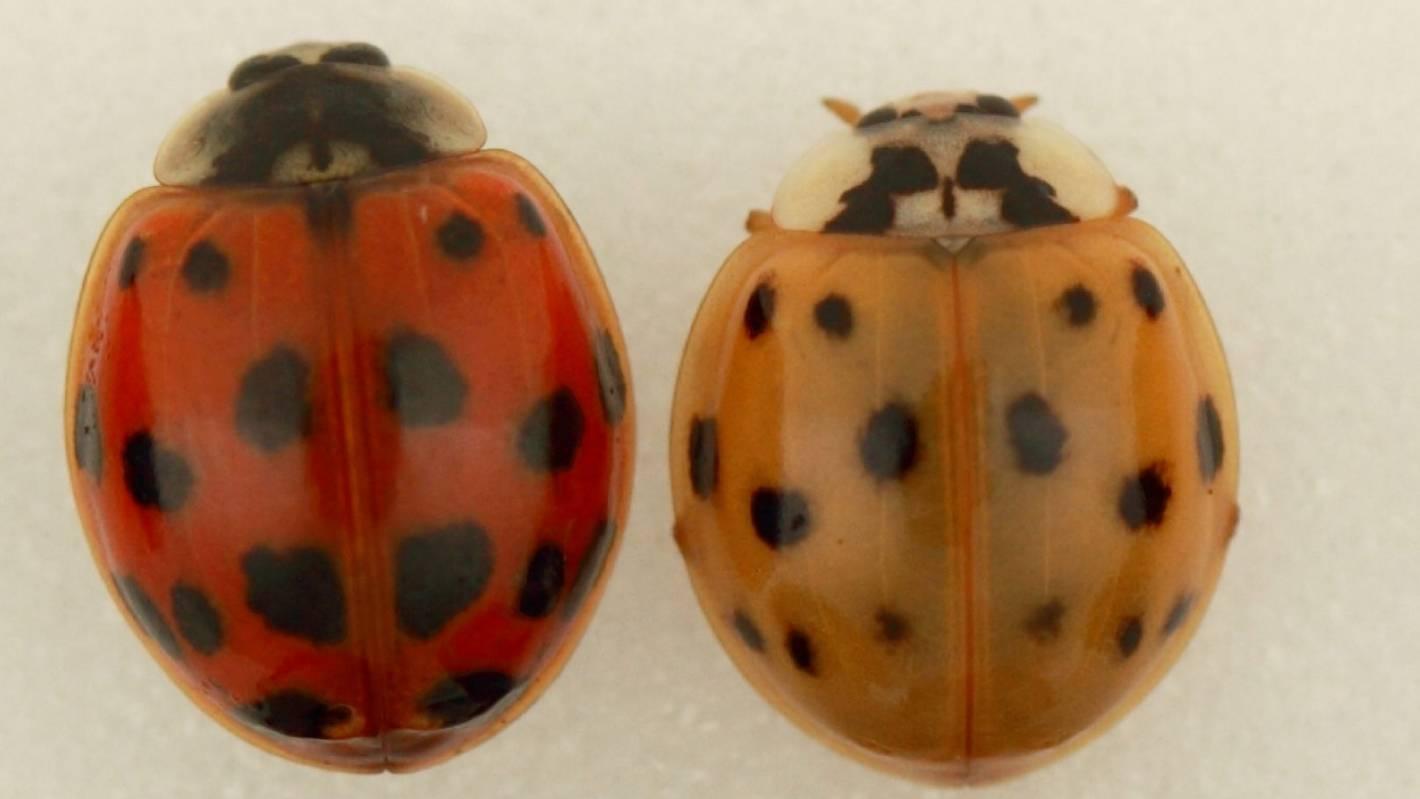 Sighting of harlequin ladybirds increase in North Waikato | Stuff co nz